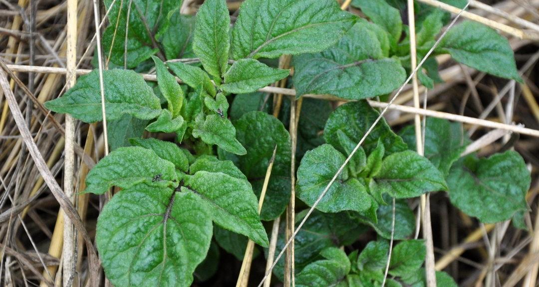 Permakultur im Garten 6: Mulchen, Lebendmulch, Flächenkompostierung