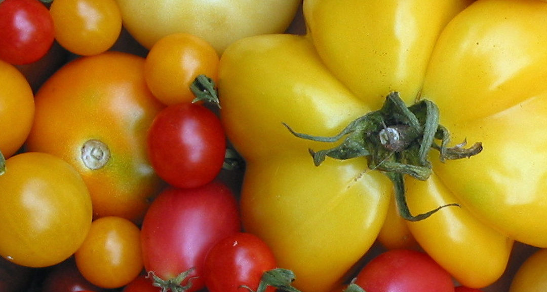 Permakultur im Garten 4: Paradeiser- bzw. Tomatenpflanzenanbau